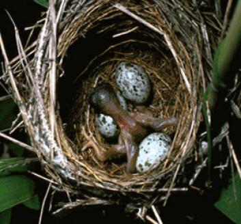"""""""Når gjøkungen klekkes ut, manøvrerer den de andre eggene over reirkanten. Slik får gjøkungen omsorgen alene."""""""