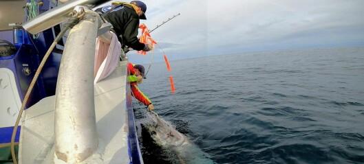 Makrellstørje svømte fra Florø til Shetland, Canada, Middelhavet og tilbake til Florø