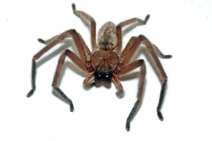 Jaktedderkoppen - Delena cancerides - er et sosialt dyr som bor i kollektiv og deler på maten. (Foto: Bryce McQuillan/Wikimedia Commons)
