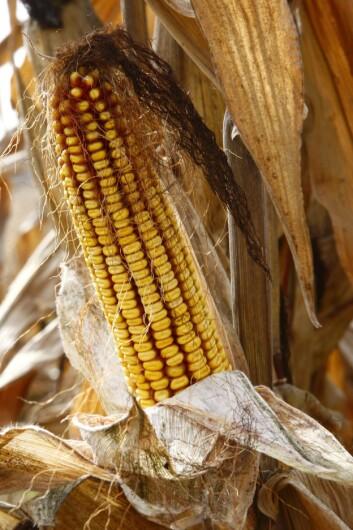 """""""Meadow sier at over 60 prosent av USAs bomull, og store deler av deres mais og soya er genmodifisert. Illustrasjonsfoto: www.colourbox.no"""""""