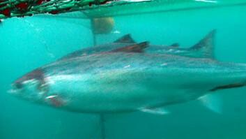 To atlantiske laks svømmer igjennom en åpen trål.