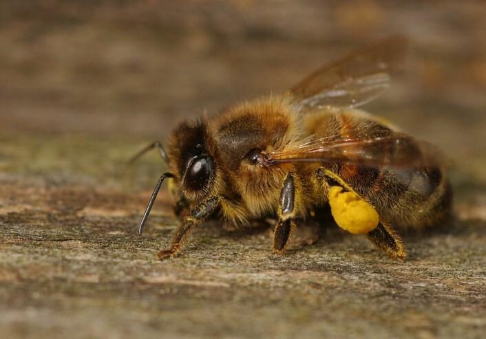 """""""Forskere har funnet ut at bier kan kjenne igjen både farger og menneskeansikt.(Foto: Ragnar Våga Pedersen)"""""""