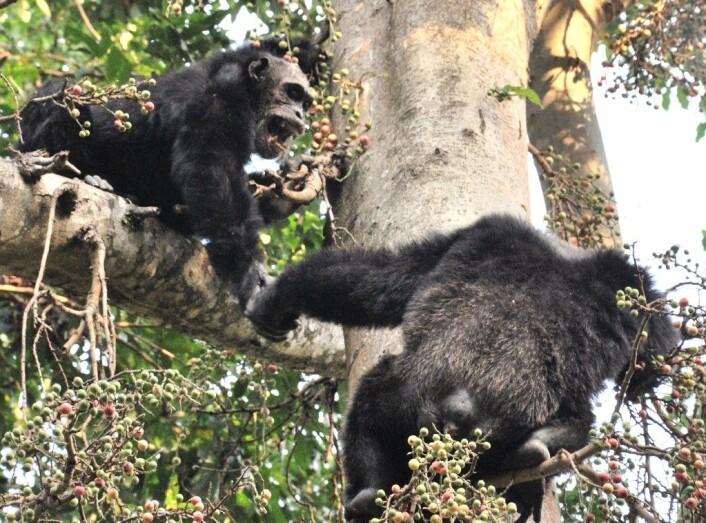 To hanner i samhandling i et fikentre. (Foto: Caelio/ Wikimedia Commons)