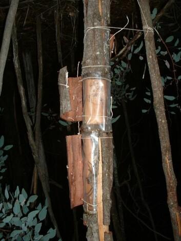 """""""Trestammen der edderkoppene bodde ble som en kikkekasse for Eric Yip. (Foto: Eric Yip/ Cornell)"""""""