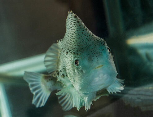 Synes du denne fisken ser skremmende ut?