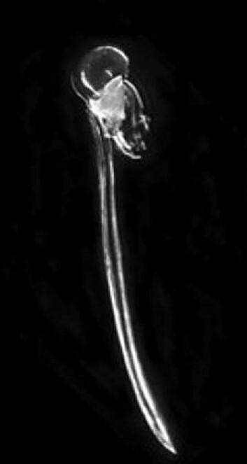 Dette lille halesekkedyret (Oikopleura dioica) har fått forskerne til å snu opp ned på evolusjonsteorien. Dyret har en reproduksjonstid på bare fire dager, og når evolujonshastigheten er så stor, skjer det dramatiske endringer i arkitekturen av arvematerialet. (Foto: Sars-senteret, UiB)