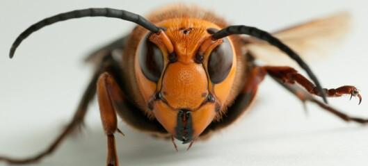 Kjempevepser kan true norsk honningproduksjon