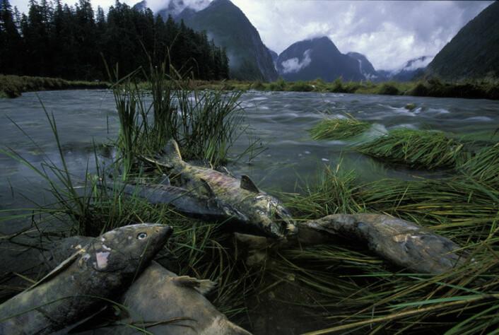 Stillehavslaks dør etter gyting, men bidrar til mer næringsrike skoger i British Columbias Great Bear Rainforest. Bildet viser død ketalaks på bredden av en elv. (Foto: Ian McAllister)