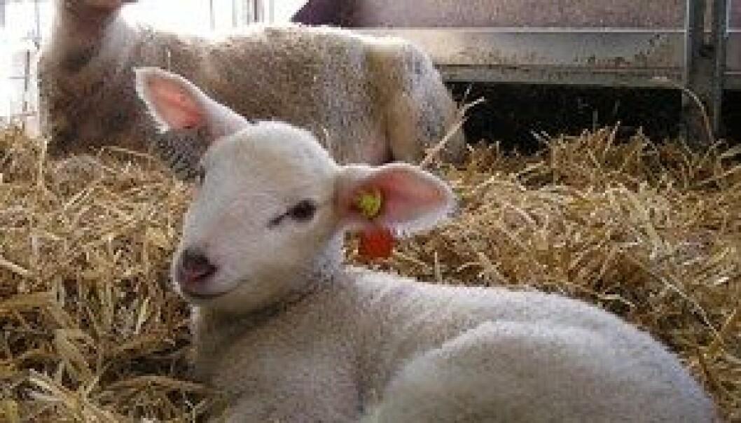Søyer som har hatt et godt miljø i drektighetstida, får rolige lam. (Foto: Sophie Hild)