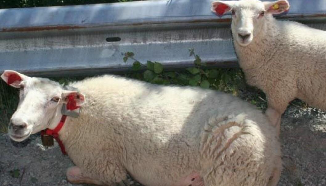 Lammekjøttproduksjonen har potensial til å bli mer lønnsom, viser en ny studie gjort av Trøndelag Forskning og Utvikling AS.