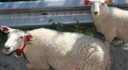Mer lønnsomme lam