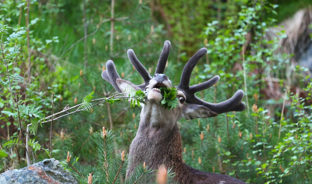 Kompisplanter: Skogens støttekontakt