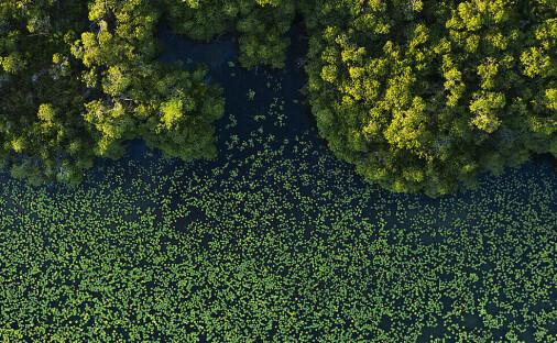 Denne mangrove-skogen ble fanget på land før forrige istid