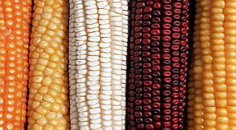 Bakgrunn:  Fakta om påvisning av ukjent og ikke-godkjent GMO