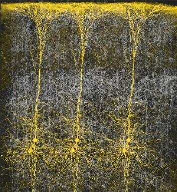 """Hjerneceller i kolonne. (Bilde: Brain Mind Institute, Ecole Polytechnique Fedreal de Lausanne)"""
