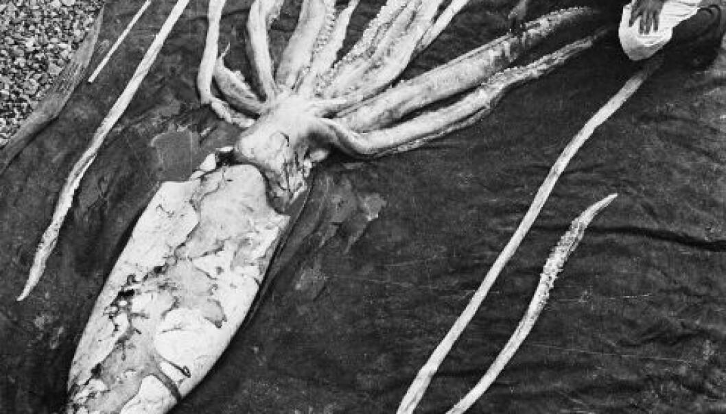 Professorene Erling Sivertsen og Svein Haftorn gjør målinger av en kjempeblekksprut som drev i land ved Ranheim 2. oktober 1954. (Foto: NTNU Vitenskapsmuseet)