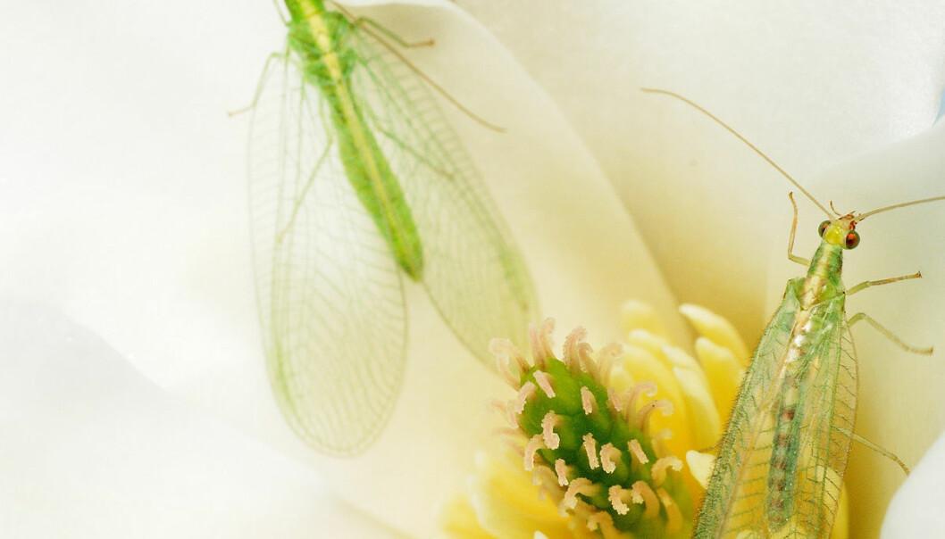 Vanlig gulløye i Magnoliablomst. (Foto: Erling Fløistad)