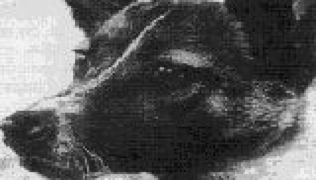 Verdens første levende vesen i verdensrommet, romhunden Laika, døde bare noen timer etter at hun ble skutt ut i rommet.