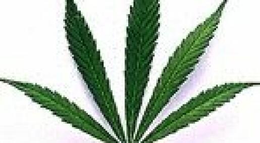 Cannabis gir flere siktelser