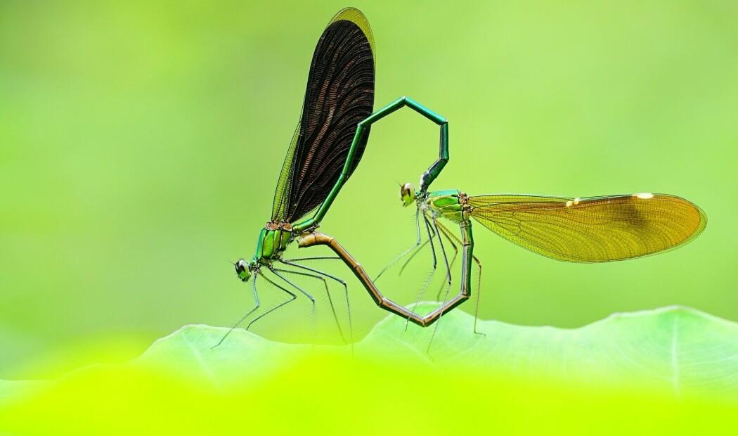 Noen insekter går langt over streken i kjønnskampen