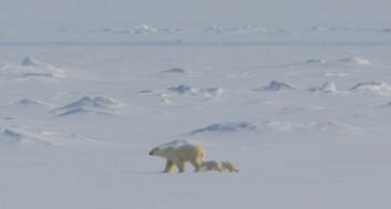 Isbjørnbinne med tvillinger. (Foto: Øystein Overrein/Norsk Polarinstitutt)