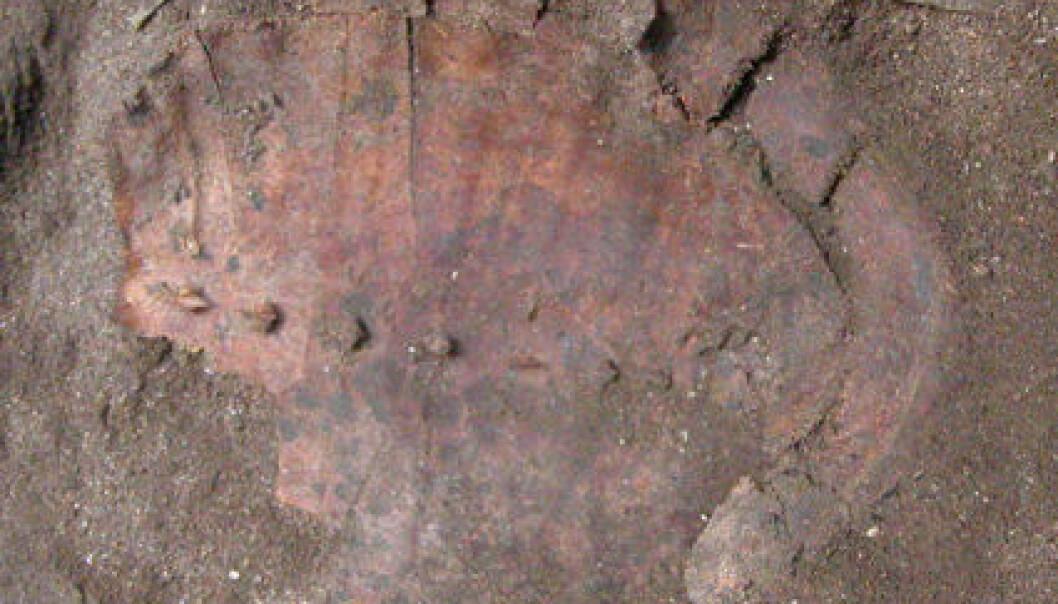 Skallet etter en av de 71 skilpaddene i graven til ei spesiell dame som forskerne tror har vært sjaman. Utgravinga skjedde i Hilazon Tachtit Cave, Israel. (Foto: Natalie Munro)
