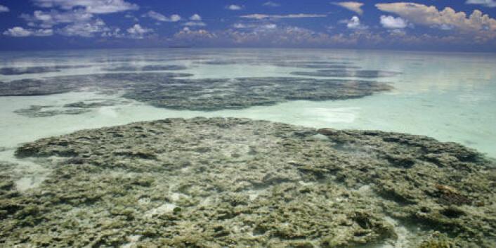 Amphimedon queenslandica lever i dette habitatet i Great Barrier Reef utenfor kysten av Australia. (Foto: Marcin Adamska)