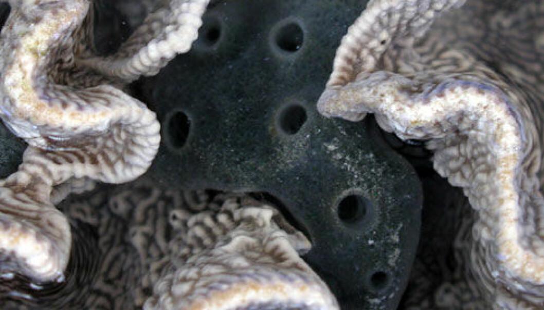 Svampen Amphimedon queenslandica. Foto: Maely Gauthier.