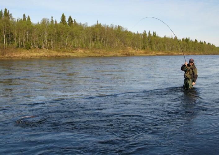 Den første fisken må også bli den siste. Maks en laks per dag er et effektivt forvaltningsvirkemiddel. (Foto: Shutterstock)
