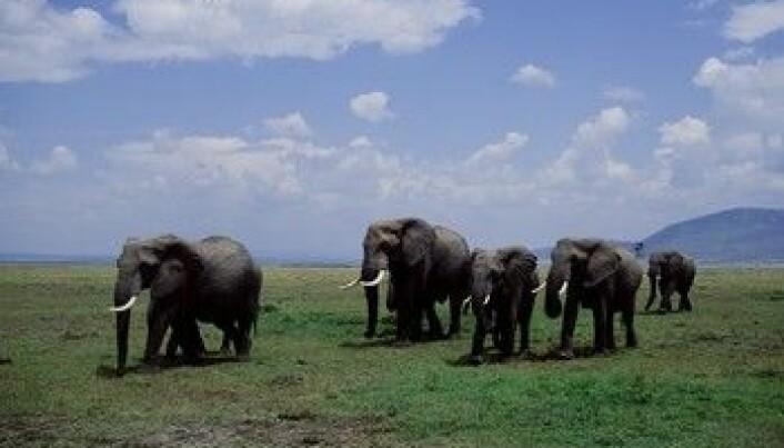 Elefanter viser interesse for sine døde
