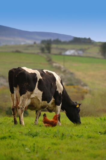 Landbruksnæringens praksis med å gi antibiotika til sunne husdyr har bidratt til antibiotikaresistensen. (Illustrasjonsfoto: www.colourbox.no)