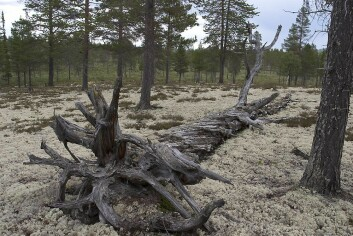 Furulæger (liggende døde trær) i lavskog. (Foto: John Y. Larsson)