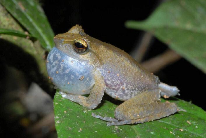"""""""Én av de tre nye froskeartene forskerne fant synger svært høyt når den skal kalle på en make. Frosken er i Litoria-slekten. (Foto: Steve Richards)"""""""