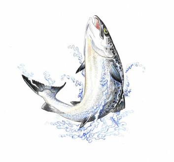 Fiskens adferd forteller om den har det bra. (Tegning: Pål Sundhell, Eksportutvalget for fisk)