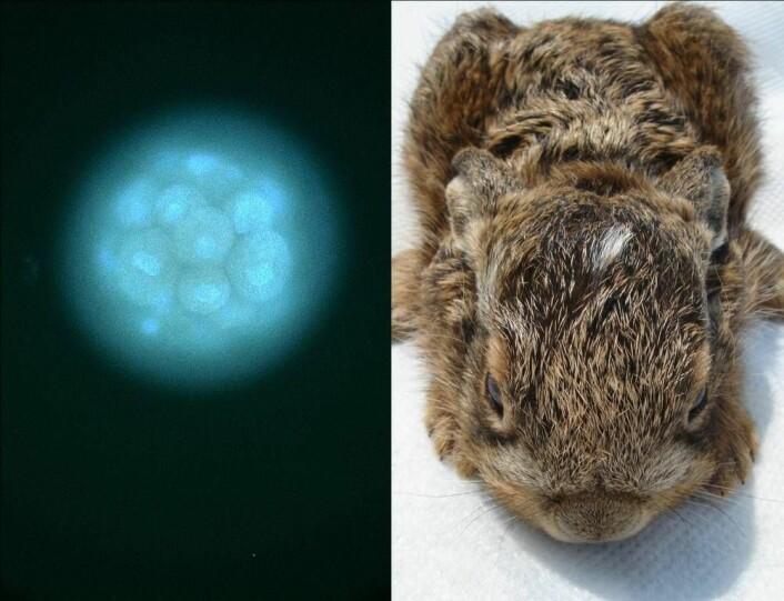 """""""Embryoer i egglederen, og nyfødt hareunge(Foto: Kathleen Rolleig, IZW)"""""""