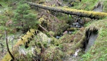 Død ved og granforyngelse i et barskogreservat på Høylandet i Nord-Trøndelag. (Foto: John Y. Larsson)