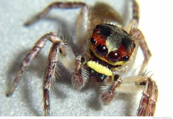 """""""Denne edderkoppen er i Cytaea-slekten, og er en av mange hittil uoppdagede hoppe-edderkopparter forskerne fant. (Foto: University of British Columbia)"""""""