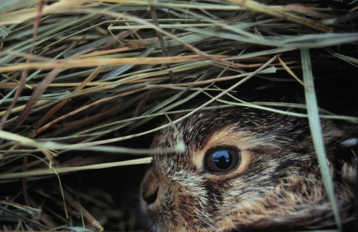 """""""Unge av Europeisk brun hare. (Foto: Kathleen Rolleig, IZW)"""""""