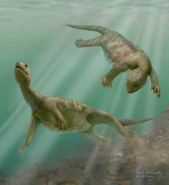 """""""Slik kanOdontochelys semitestacea ha sett ut i sitt rette miljø, for omlag 220 millioner år siden. Skilpadden hadde kun skallbeskyttelse av buken. (Illustrasjon:M.. Donnelly/Field Museum, Chigaco)"""""""