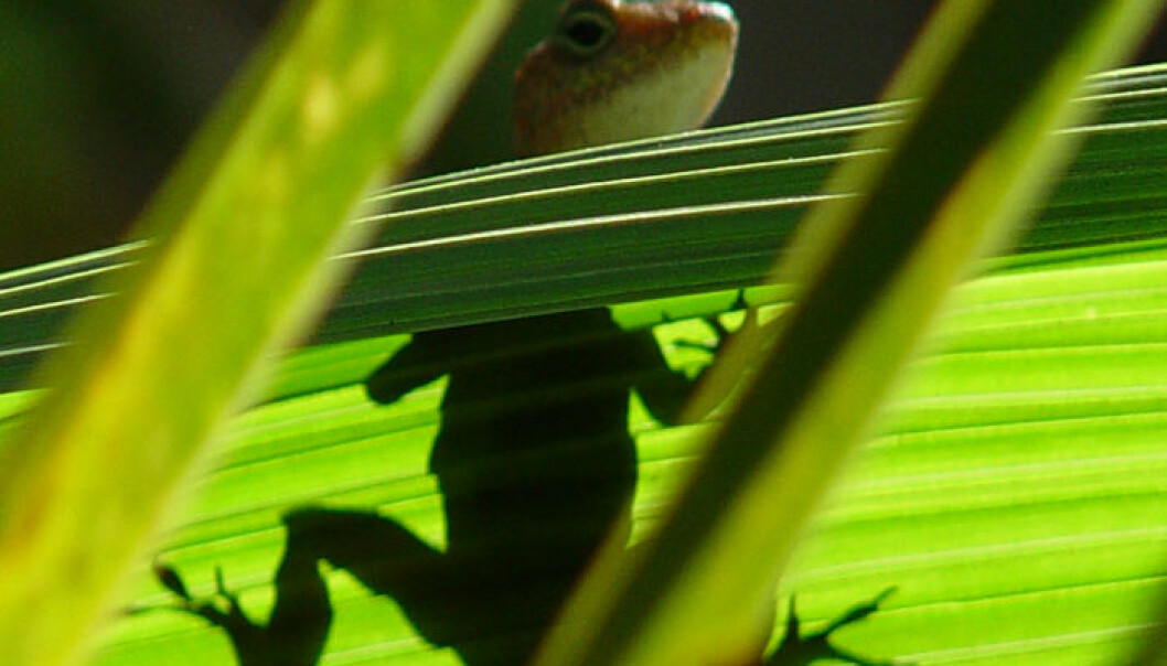 - Klimaendringer kan drepe krypdyr