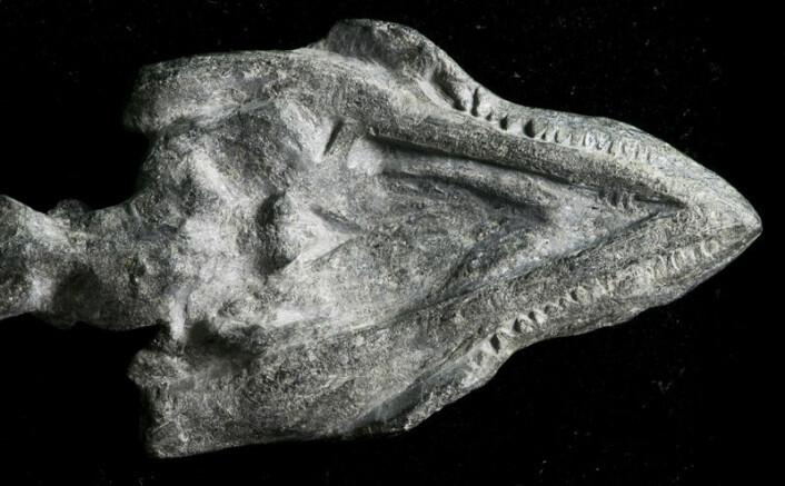 """Det 220 millioner år gamle fossilet viser også at skilpaddearten var ustyrt med tenner. (Foto: Xiao-chun Wu, Research Scientist, Paleobiology Canadian Museum of Nature)"""