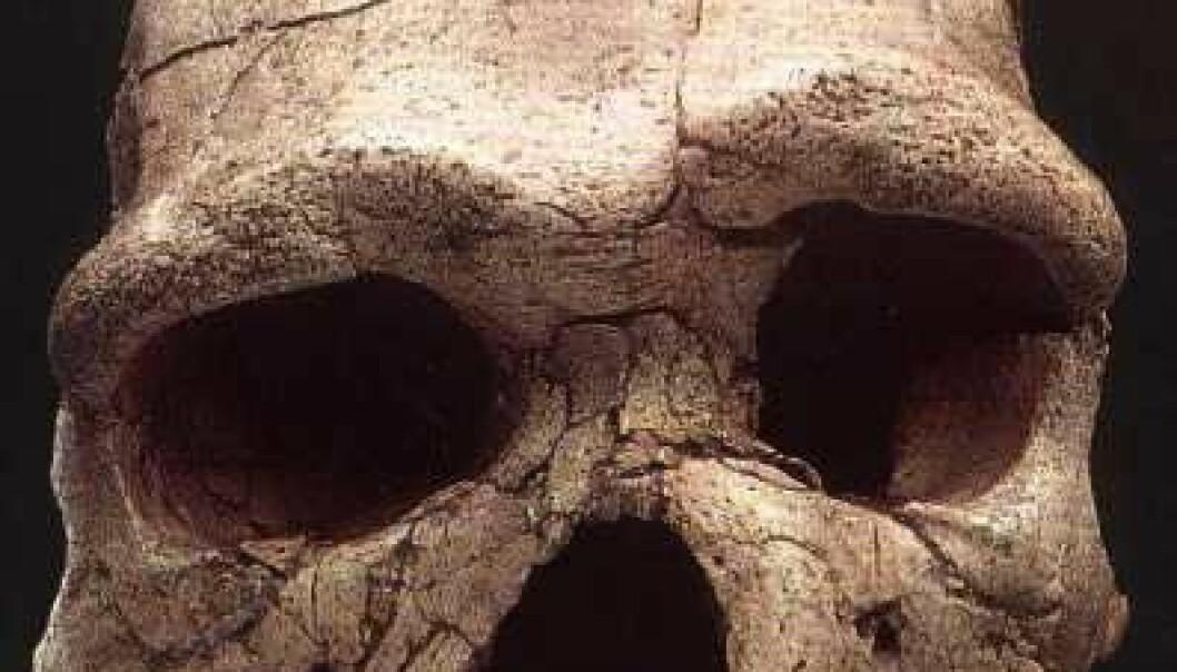 """""""Skalle av Homo Heidelbergensis som ble funnet i Tautavel i Frankrike. Den er mellom 200 000 og 400 000 år gammel. (Foto: Michigan State University)"""""""