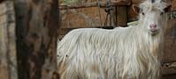 Norske geiter inntar Afrika