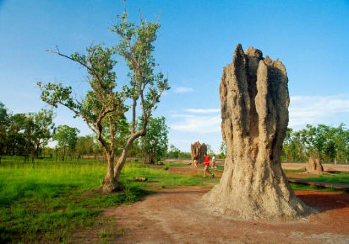 Gigantiske termittuer er imponerende byggverk. Termittkolonien fungerer som en superorganisme som har gjort konstruksjonen mulig. (Foto: iStockphoto/Terraxplorer)