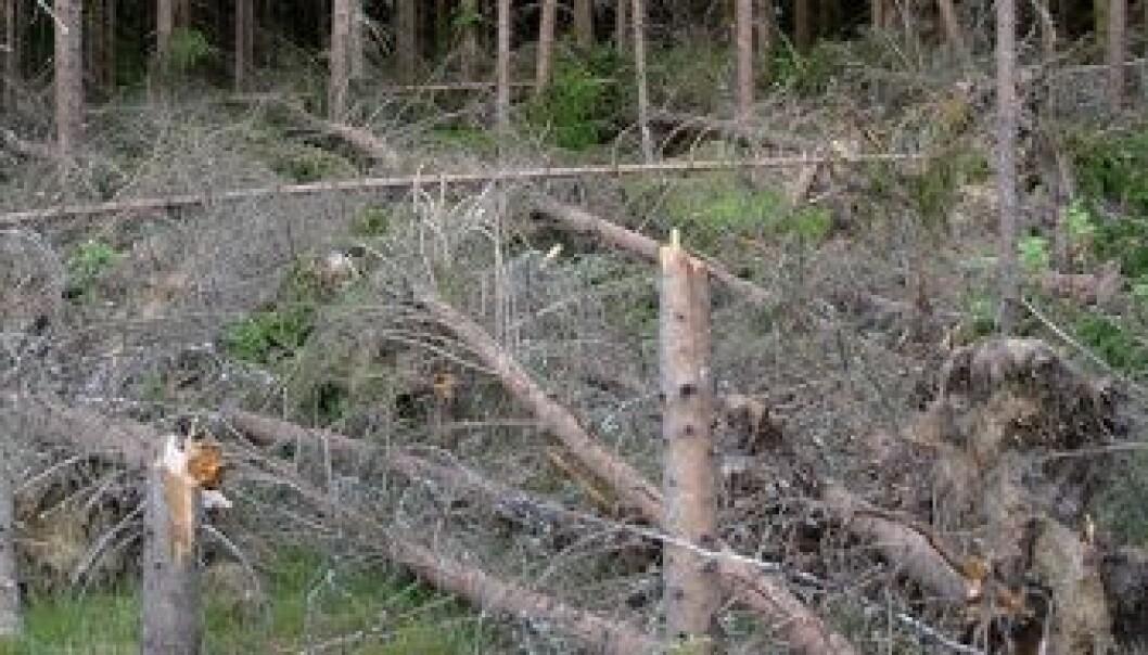Vindfall og brekte stammer på granskog som er åpnet opp. (Foto: Karine Bogsti)