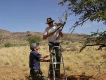 Biologene teller løpende antallet edderkopper i de koloniene de finner på savannen. (Foto: Trine Bilde)