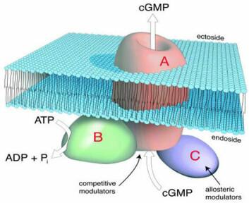 """""""Vi tenker oss at syklisk GMP-pumpen består av tre hovedelementer. En del av pumpeproteinet er ansvarlig for selve pumpefunksjonen (A), det vil si å gjenkjenne og flytte syklisk GMP ut fra cellen over cellemembranen. En annen del (B) sørger for energi til prosessen gjennom spalting av ATP. Den tredje delen (C) sørger for å regulere transportprosessen."""""""