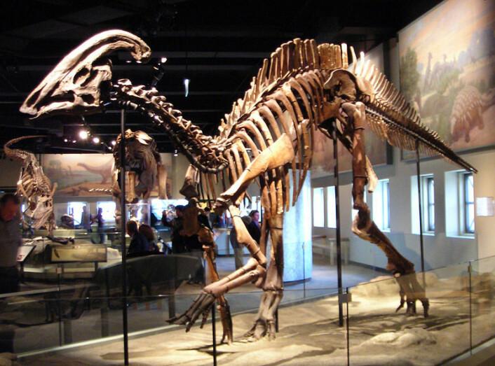 Blant fossilene på det nye utgravingsområdet i kina skal forskerne ha oppdaget en kjempestor nebbdionsaur. Her er nebbdinosauren Parasaurolophus cyrtocristatus utstilt ved Field Museum of Natural History i Chicago i USA. (Foto: Wikimedia Commons, lisens her)