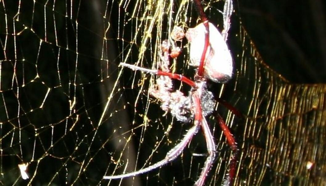 Edderkoppen Nephila inaurata. (Foto: M. Kuntner)