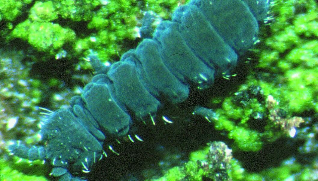 Spretthale av slekten Hypogastrura. (Foto: Hans Petter Leinaas)